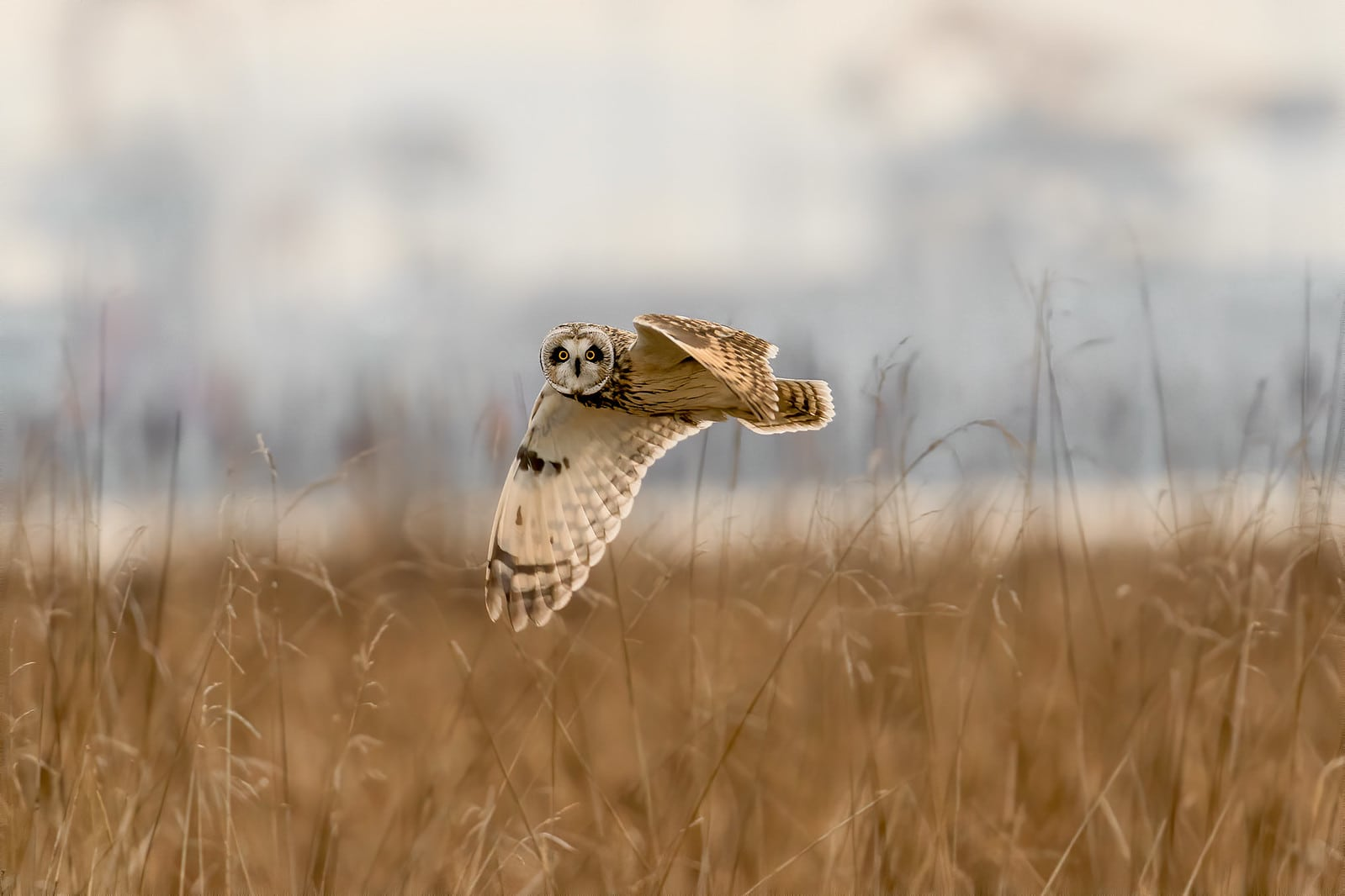 Short Eared Owl Stare Down